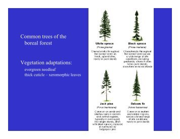 Common trees of the boreal forest Vegetation ... - Geography