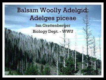 Balsam Woolly Adelgid: Adelges piceae
