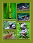 Iguana b&w text - International Reptile Conservation Foundation - Page 2