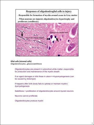 Glial cells (stromal cells) Oligodendrocytes ... - CSU PVM 2014