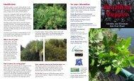 Brazilian Pepper - the Tampa Bay Estuary Program!