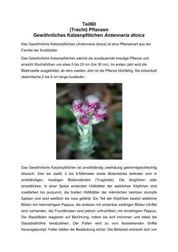 (Tracht) Pflanzen Gewöhnliches Katzenpfötchen Antennaria dioica