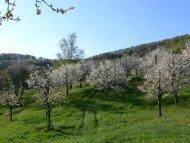 Bio-Hochstammobstbau in der Schweiz