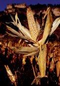 El origen y la diversidad del maíz en el continente americano - Page 5