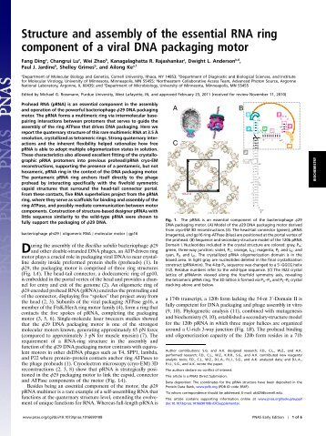 Structure and assembly of the essential RNA ring component of a ...