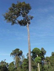 Castanheira na floresta amazônica - Revista Pesquisa FAPESP