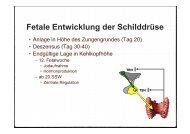 Fetale Entwicklung der Schilddrüse, 11.400 Kb