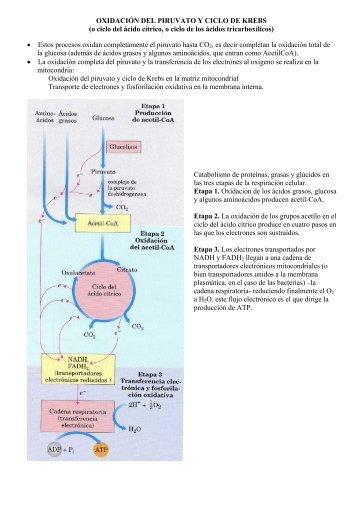 OXIDACIÓN DEL PIRUVATO Y CICLO DE KREBS (o ciclo del ácido ...