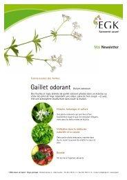 Gaillet odorant Galium odoratum