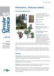 Pinheiro-Bravo - Podocarpus lambertii - Embrapa Florestas