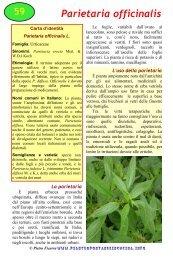 Parietaria officinalis - Piante spontanee in cucina