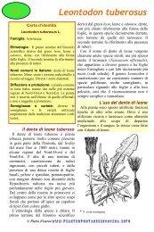 Leontodon tuberosus - Piante spontanee in cucina