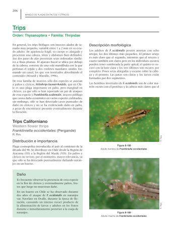 Manejo de plagas en paltos y cítricos: Trips - Avocadosource.com