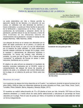 poda sistemática del cafeto para el manejo sostenible de la broca