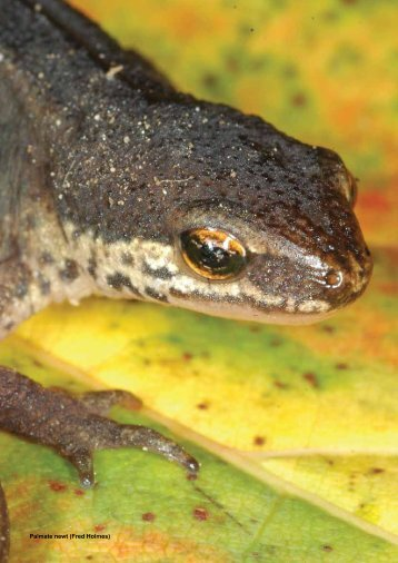 Palmate newt (Fred Holmes) - Amphibian and Reptile Conservation