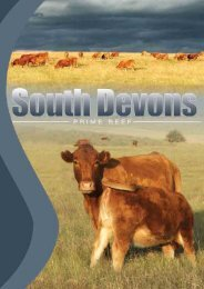 SOUTH DEVONS - Prime Beef - South Devon Cattle Breeders