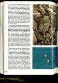 La gaviota de Audouin (Larus audouinii) en las Islas Chafarinas - Page 7