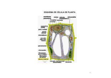 ESQUEMA DE CÉLULA DE PLANTA