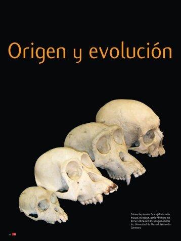 Cráneos de primates. De abajo hacia arriba: macaco ... - Ciencia Hoy