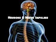 Neurons & Nerve Impulses - Fall River Public Schools