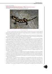 Salamandra salamandra (Linnaeus, 1758). Salamandra común