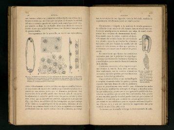 una inmensa célula con numerosos núcleos (judía, capuchina, etc).