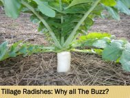 Tillage Radishes: Why all The Buzz? - IFAO