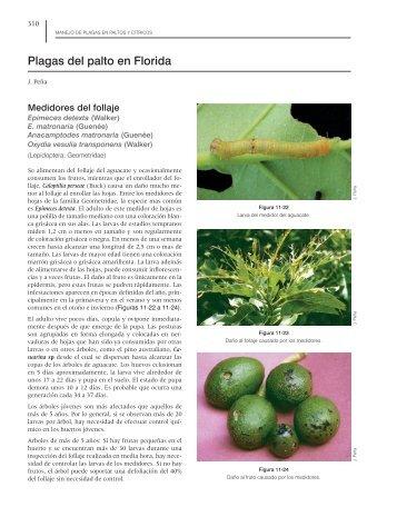 Plagas del palto en Florida - Avocadosource.com
