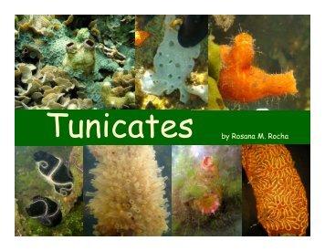 Tunicates by Rosana M. Rocha