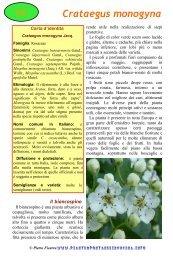 Crataegus monogyna - Piante spontanee in cucina