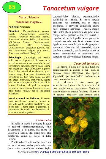 Tanacetum vulgare - Piante spontanee in cucina