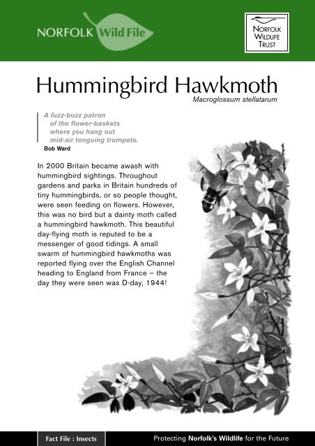 Hummingbird Hawk Moth - Norfolk Wildlife Trust