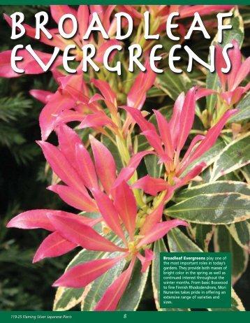 Broadleaf Evergreens - Mori Nurseries
