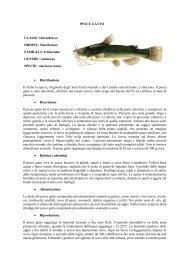 PESCE GATTO.pdf - Home | Ufficio Pesca della Provincia di Grosseto