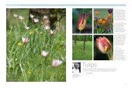 Tulips - Arne Maynard Garden Design