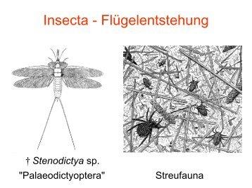 Insecta - Flügelentstehung