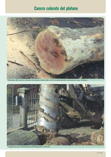 Cancro colorato del platano (seconda parte) - A.R.S.S.A. Abruzzo