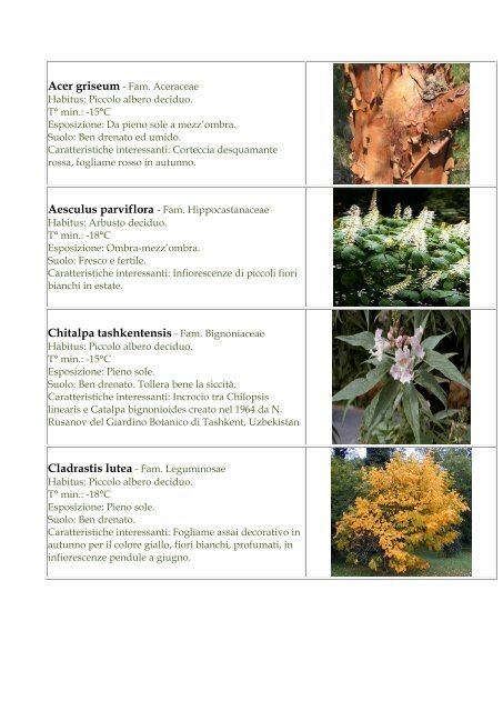 Fiori Bianchi Ombra.Chitalpa Tashkentensis Fam Bignoniaceae Botanica La Romola