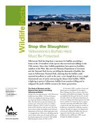 Yellowstone's Buffalo Herd Must - Natural Resources Defense Council