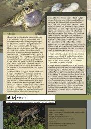 Protezione Il Rospo calamita è una delle specie anfibie rare ... - Karch