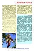 Ceratonia siliqua - Piante spontanee in cucina - Page 2