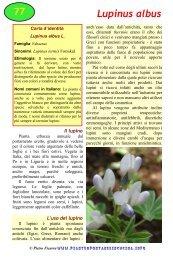 Lupinus albus - Piante spontanee in cucina