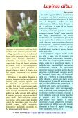 Lupinus albus - Piante spontanee in cucina - Page 2