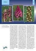 Orchidee della Liguria - Page 5