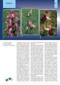 Orchidee della Liguria - Page 7