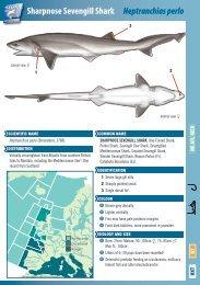 Sharpnose Sevengill Shark Heptranchias perlo - The Shark Trust