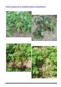 Plants de pommes de terre Minimiser le risque de jambe ... - swisssem - Page 6