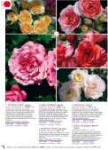 ROSES ANCIENNES et GENEROSA® PARFUMEES - Roses Guillot - Page 6