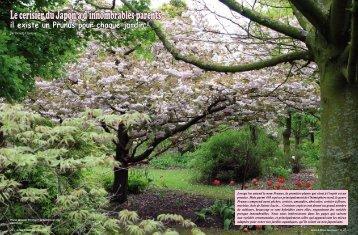 Le cerisier du Japon a d'innombrables parents - My-Tho fleurs