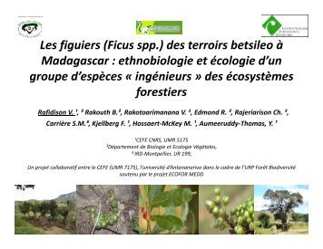 Les figuiers (Ficus spp ) des terroirs betsileo à ... - gdri madagascar